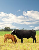 Mother and baby cow Australian bred beef cattle — Stock Photo