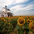 Among sunflowers - Stock Photo