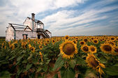 Bland solrosor — Stockfoto
