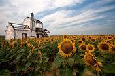 Onder zonnebloemen — Stockfoto