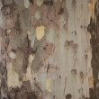 The bark of the old maple tree — Stock Photo