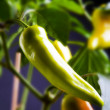 Hot chillies — Stock Photo
