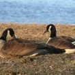 CanadiGeese — Stock Photo #6845661