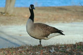 Canadian Goose 2 — Foto Stock