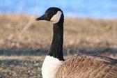 Canadian Goose — Stock Photo