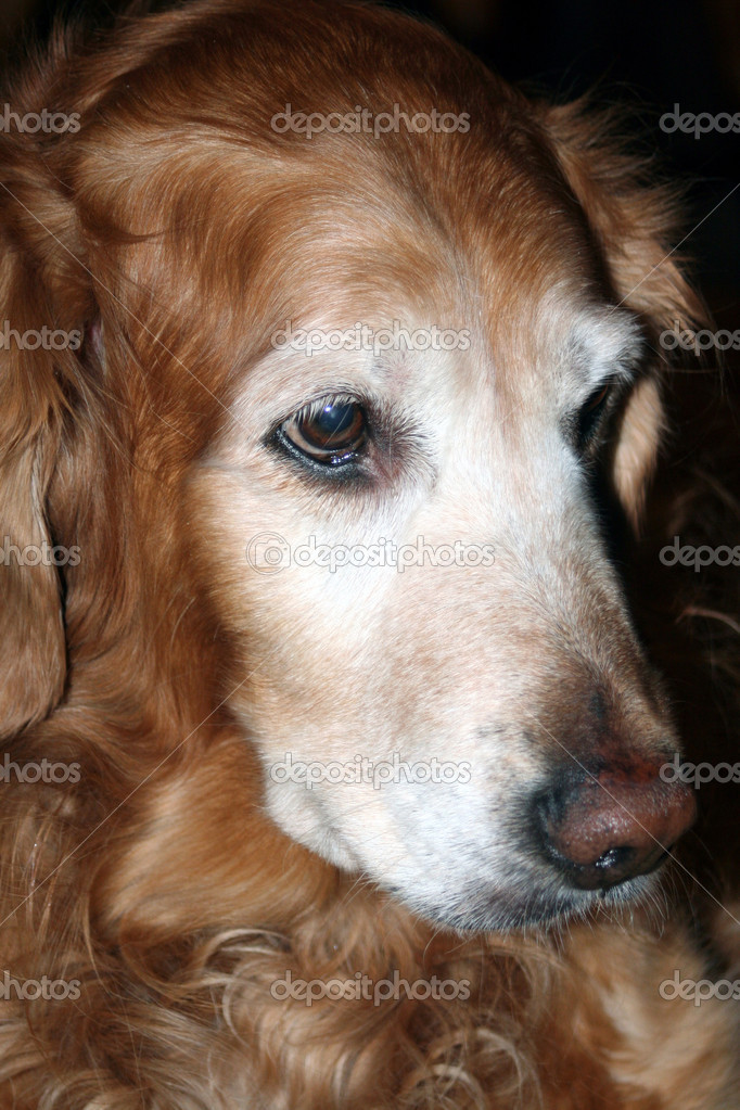 Closeup semi-profile portrait of a mature Golden Retriever.  Stock Photo #6850133