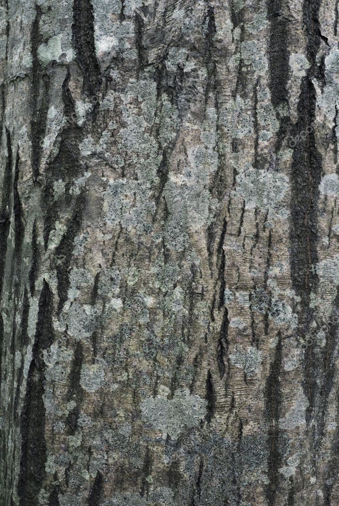 Bark of Common Hornbeam (Carpinus betulus) with lichens — Stock Photo #6769148