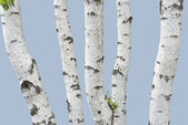 Birch trunks (isolated) — Stock Photo