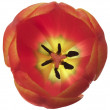 Tulip flower - Stock Photo