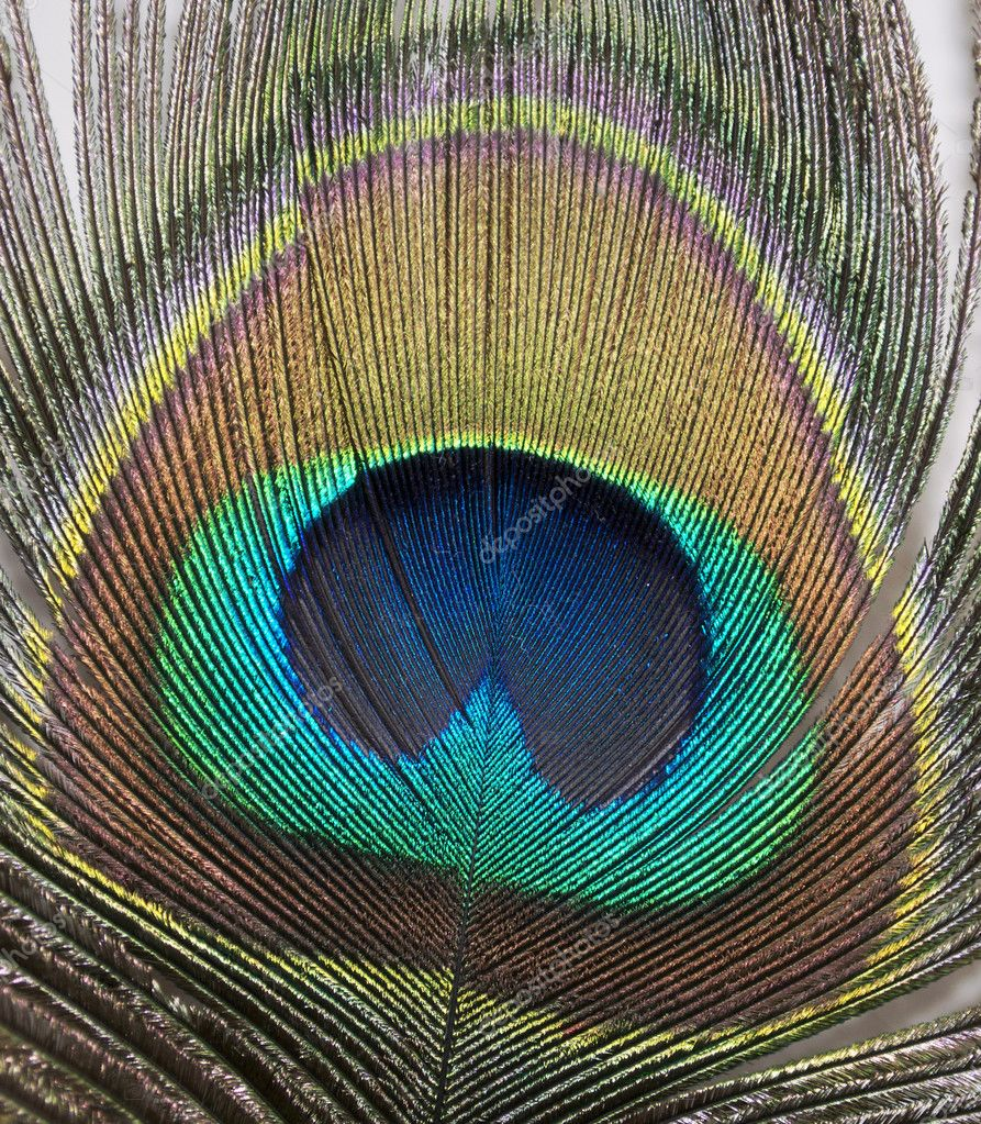 A close up of a colorful peacock feather — Stock Photo #7250311
