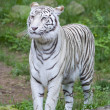 Prowling White Tiger — Stock Photo