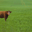 Red Cow In Barley Meadow — Stock Photo