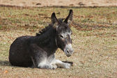 A young donkey — Stock Photo