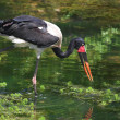 Saddle Billed Stork - Stock Photo