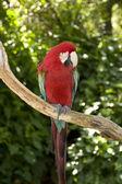 Renkli Amerika papağanı — Stok fotoğraf