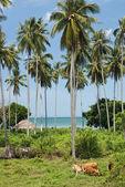 熱帯近くの野原で牛ビーチ、プーケットタイ — ストック写真