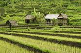 Rice field landcape in bali indonesia — Stock Photo
