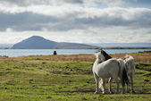 Ponys in island-landschaft — Stockfoto