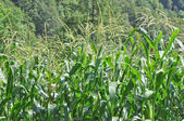 Maíz maíz — Foto de Stock