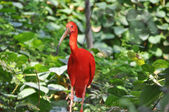 Scarlet Ibis bird — Stock Photo