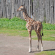 Giraffe — Stock Photo #6791627