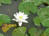 Water lily Nimphaea — Stock Photo