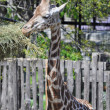 Giraffe — Stock Photo #6824367