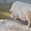 Pig at a farm - Stock Photo