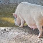 prase na farmě — Stock fotografie