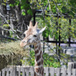 Giraffe — Stock Photo #6828374