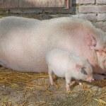 Piggs na farmě — Stock fotografie