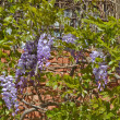 Wisteria plant - Stock Photo