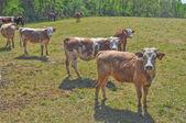 Vaca de ganado — Foto de Stock
