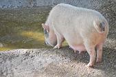 Pig at a farm — Stock Photo