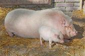 Piggs at farm — Stock Photo