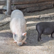 Foto Stock: Pig at farm