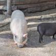 porc à la ferme — Photo