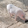 Pig at farm — Stock Photo