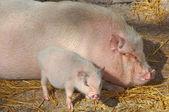 Pig at farm — Stock Photo
