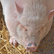 Pig sleeping — Stockfoto