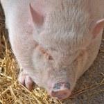 cochon dort — Photo