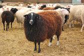 Sheep in farm — Stock Photo