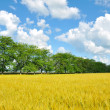 Golden wheat field, trees and perfect blue sky — Stock Photo