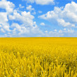 Stock Photo: Field of golden wheat and perfect cloud blue sky