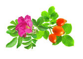 Dogrose with flower and green leaves isolated on white — Stock Photo