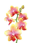 Beautiful pink and yellow orchid isolated on white background — Stock Photo