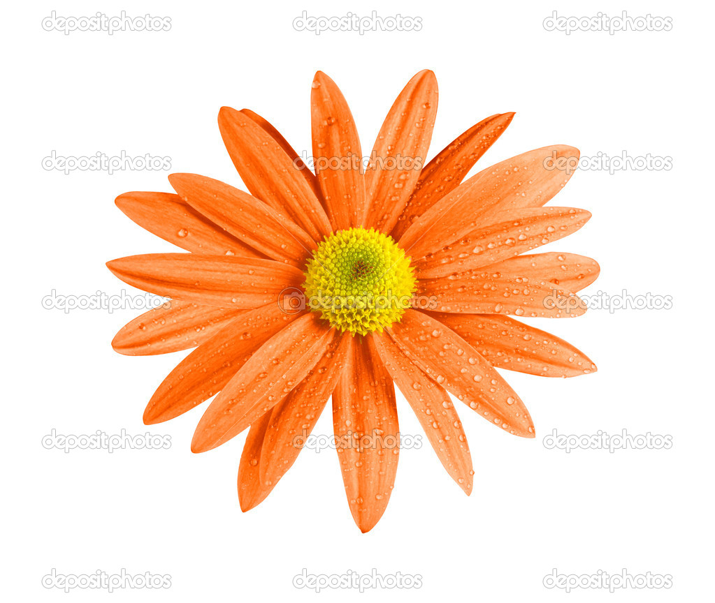 Beautiful orange chrysanthemum flower isolated on white — Stock Photo #6920749