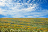Summer field of sunflowers and perfect blue sky — Стоковое фото