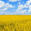 Field of golden wheat and perfect blue sky — Stock Photo
