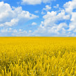 Field of golden wheat and perfect blue sky - Stock Photo
